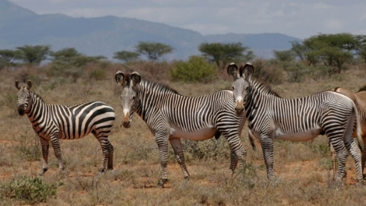 Image shows a common plains zebra on the left and two Grevy's. Not the differences in stripes, mane, and physical size.