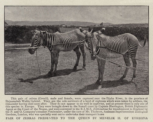 Pair of Zebras presented to the Queen by Menelik II of Ethiopia