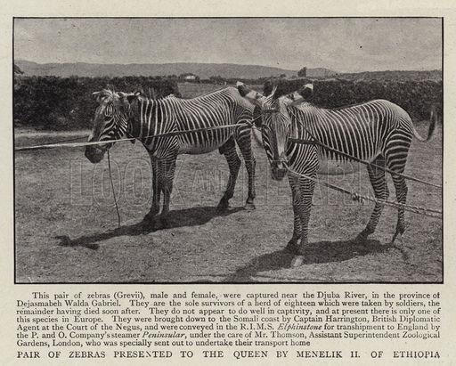 Pair of Zebras presented to the Queen by Menelik II of Ethiopia
